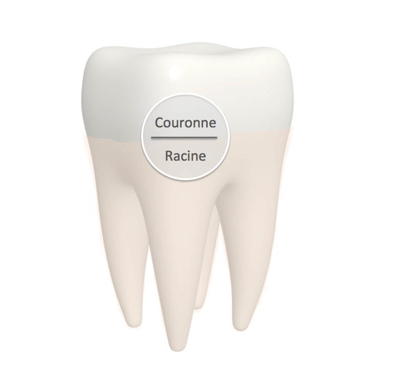 Tooth Anatomy - Concept Dentaire rive-sud